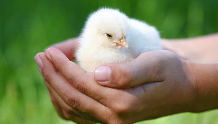 Tratamento de Ar em Centros de Incubação de Aves